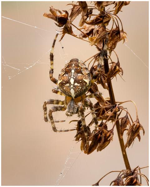 garden cross spider (Garden orbweaver / Cross orbweaver)r)