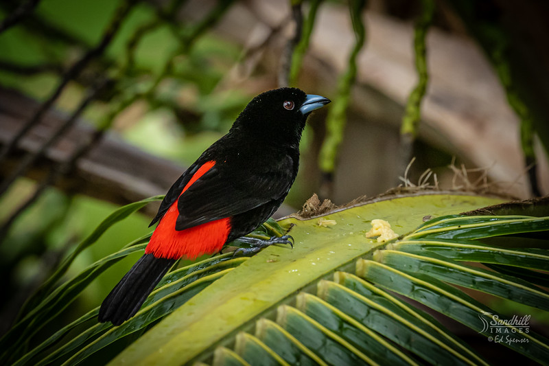 Red rumped tanager (Passerini's) male