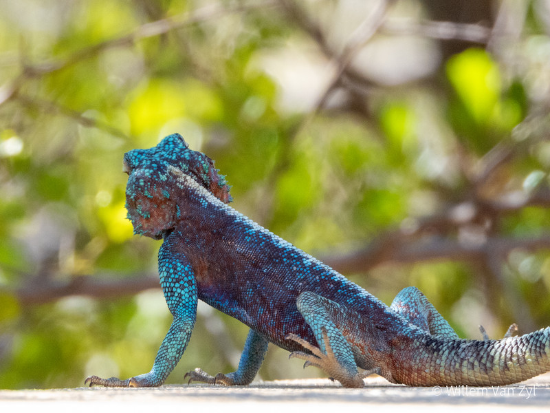 20191220 Southern Rock Agama (Agama atra) from Cederberg, Western Cape