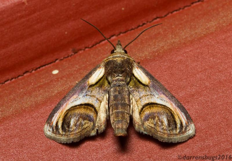 Eyed Paectes (Noctuidae: Paectes oculatrix) from Iowa, USA. Their caterpillars feed on poison ivy.