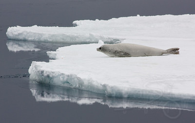 Crabeater seal inching toward the ice edge.