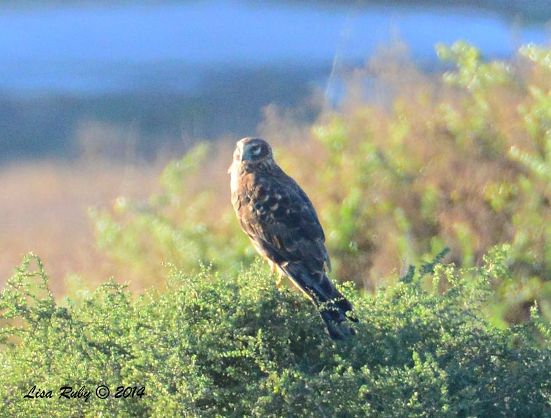 Northern Harrier - 12/29/2014 - Tijuana River Valley Estuary Preserve
