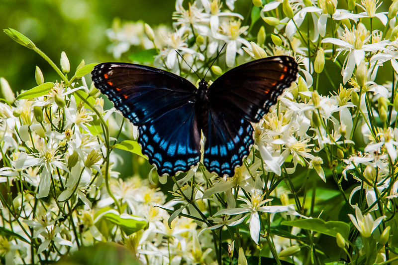 Swallowtail Butterfly on Summer Wildflowers