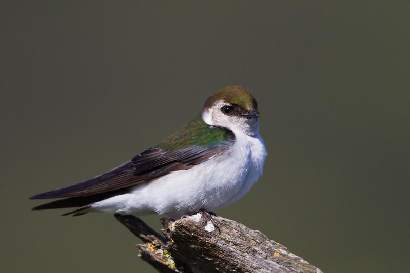 Violet-green Swallow - Rancho San Antonio, Los Altos, CA, USA