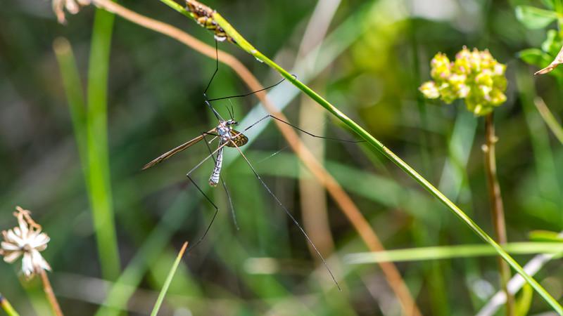 True Cranefly.