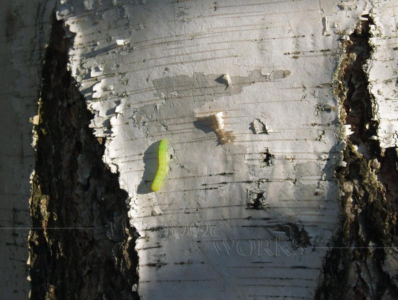 Inchworm, or Geometrid caterpillar (genus Geometra) on white birch tree (Betula papyrifera)... tree also known as paper, canoe, or silver birch