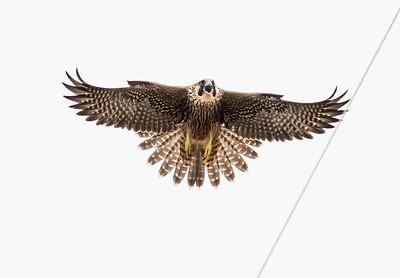 2021_6_25 peregrine falcons at Sonoma coast