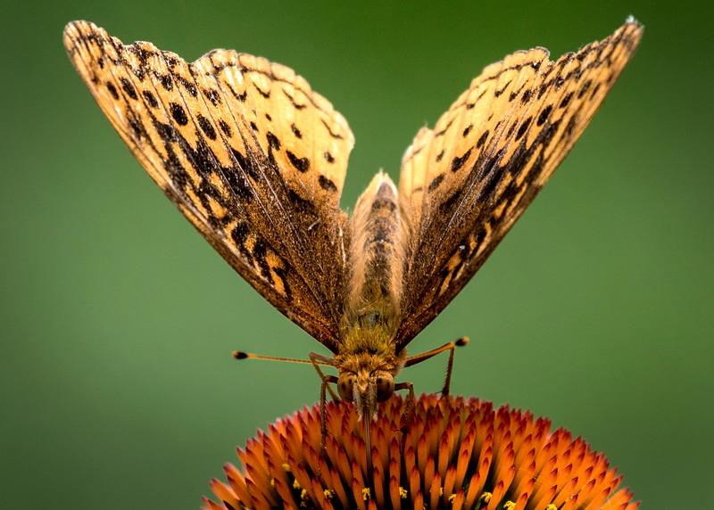 GoldenButterfly_9=02.jpg