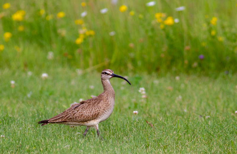 Whimbrel summering on Park Point Duluth MN -0295.jpg