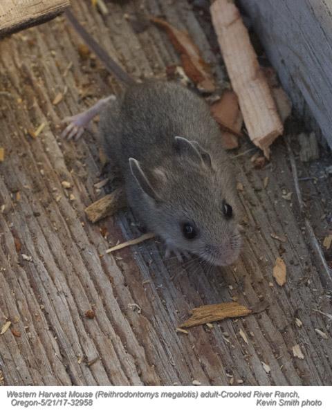 Western Harvest Mouse A32958.jpg