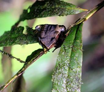 Dead Leaf Frog