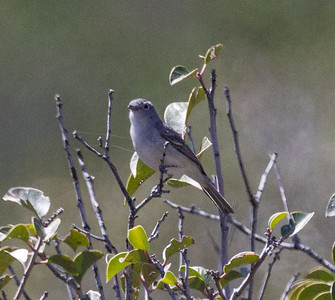 Gray Vireo Vireo vicinior
