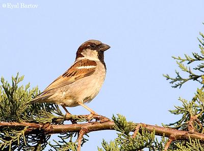 Sparrows -דרורים
