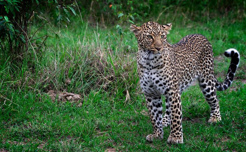 Standing Leopard
