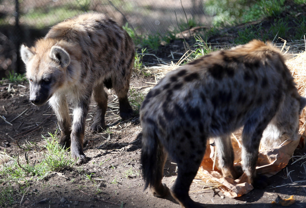 . Two of Oakland Zoo\'s three new spotted hyenas are seen in their habitat at the zoo in Oakland, Calif. on Thursday, Jan. 10, 2013. The hyenas were relocated from the Berkeley Hyena Center at UC Berkeley, where they were being studied in a research program which suffered funding cuts. (Jane Tyska/Staff)
