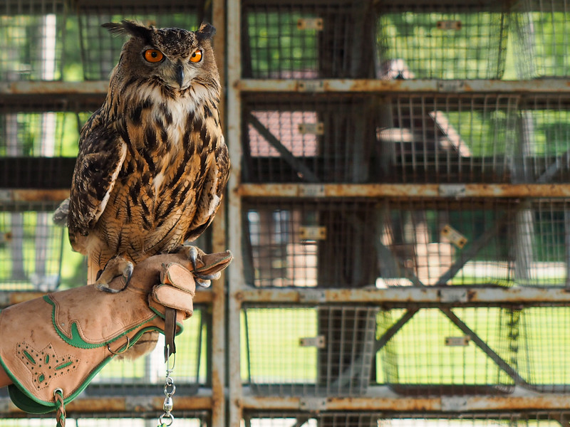Henson the owl with Ohio School of Falconry