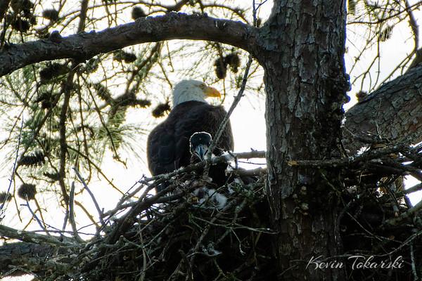 Eagle and Eaglet