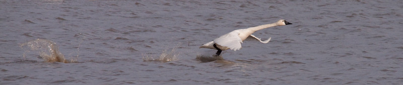 2011 swan migration aylmer (47 of 51).jpg