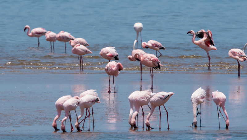 Flamingoes on Walvis Bay