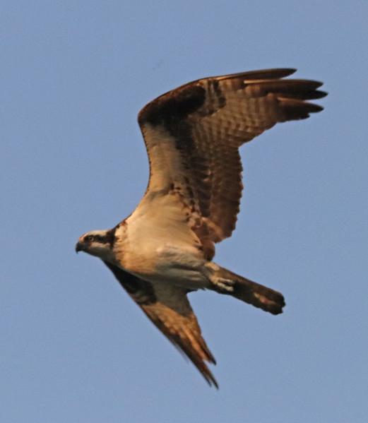 Osprey 81