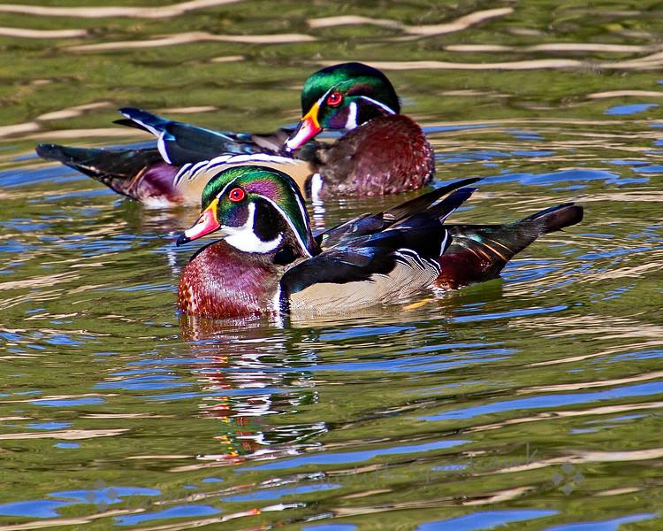 Wood Duck Duo - Judith Sparhawk