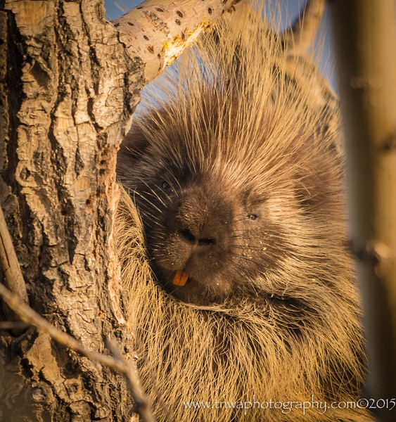 The sweet face of a porcupine Idaho © 2015  TNWA Photography / Debbie Tubridy