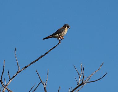 Jalohaukat (Falcons)