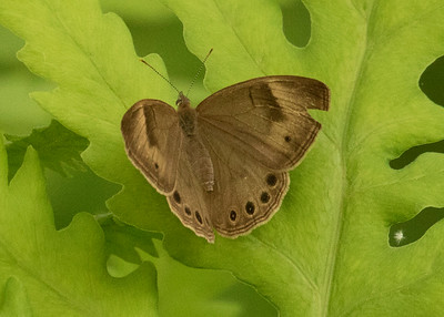 Applacian Brown