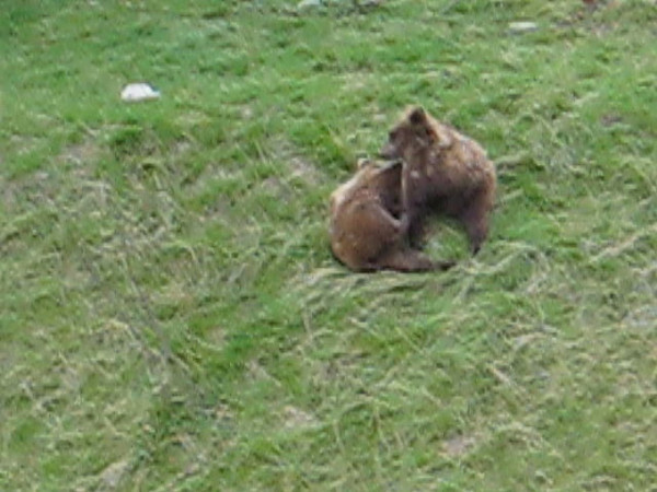bears.avi
