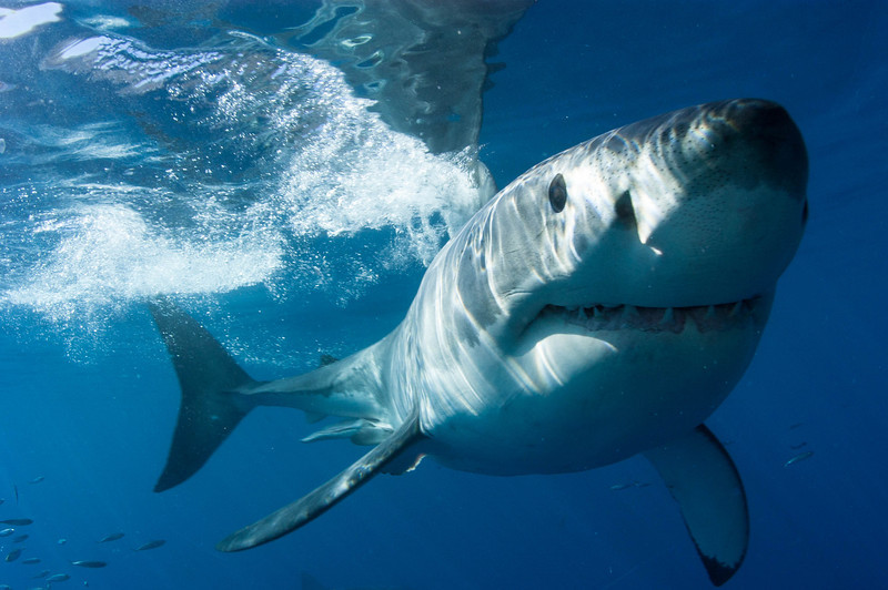 Guadalupe Island Great White Sharks