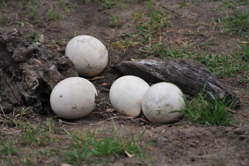 Ostrich Eggs Kilimanjaro Safaris