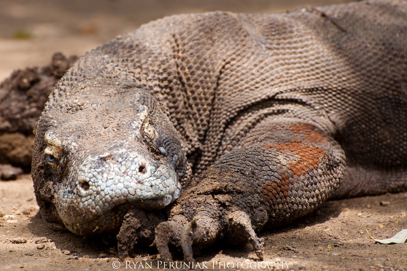 Feature Gallery - The Dragons of Komodo