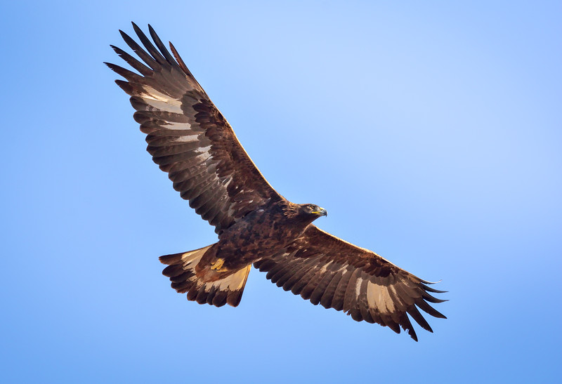 -_Golden Eagle 2014-10-26_078-Edit-2.jpg