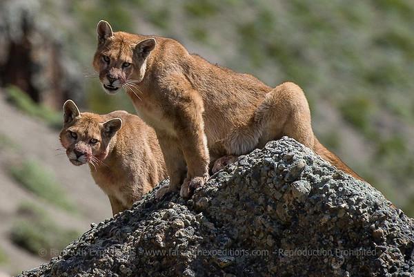 Patagonia Pumas by Alex Macipe