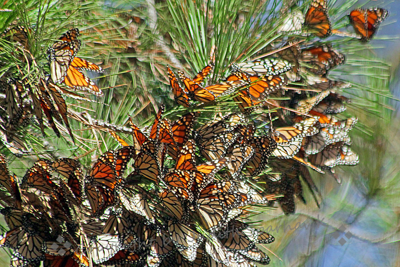 Monarchs in the Pines ~ Beautiful Monarchs decorate the pine boughs in Pismo Beach, CA.