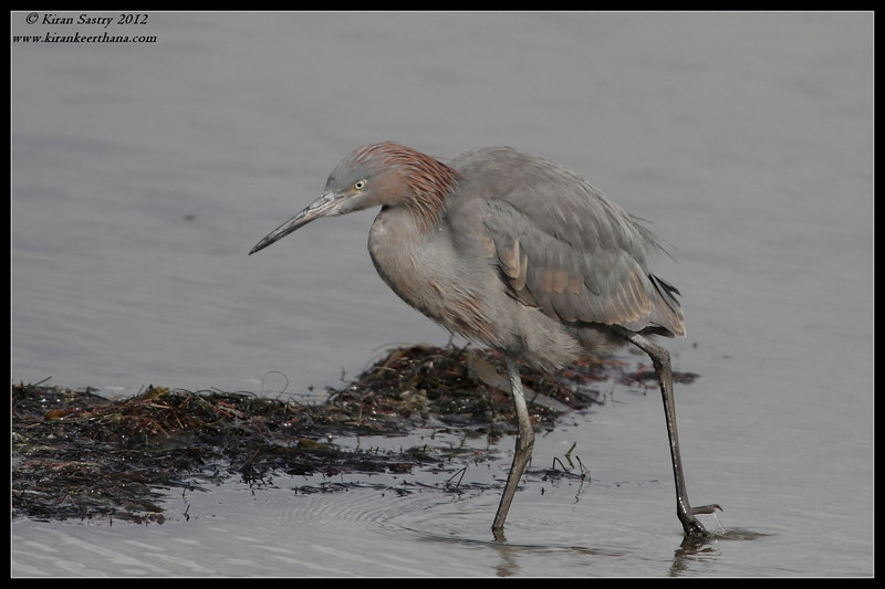 Reddish Egret, Robb Field, San Diego River, San Diego County, California, February 2012