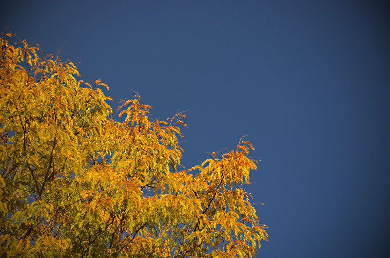 2012-10-12 ––– I was sitting in my office looking out the window, amazed at the blue sky. The yellow tree made it look even more amazing. A true autumn sky.