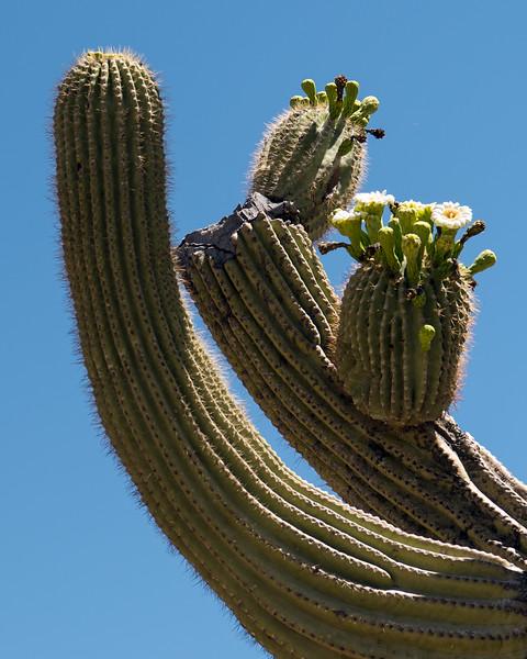 Blooming Saguaro Cactus at Phoenix Sonoran Preserve