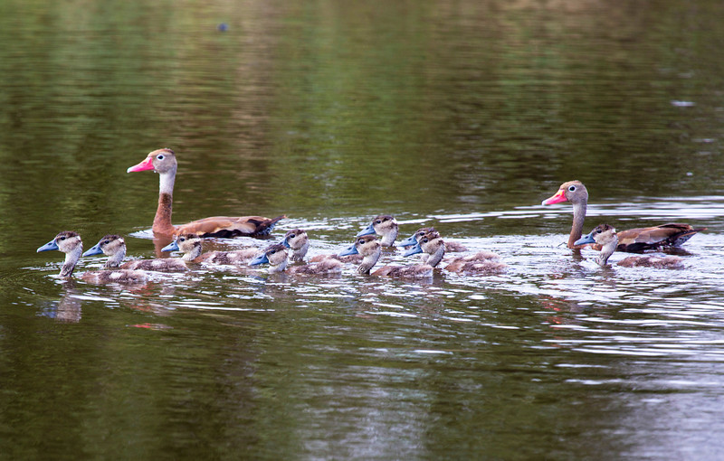 The Whistling Duck family again