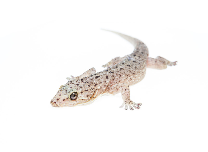 Spotted house gecko