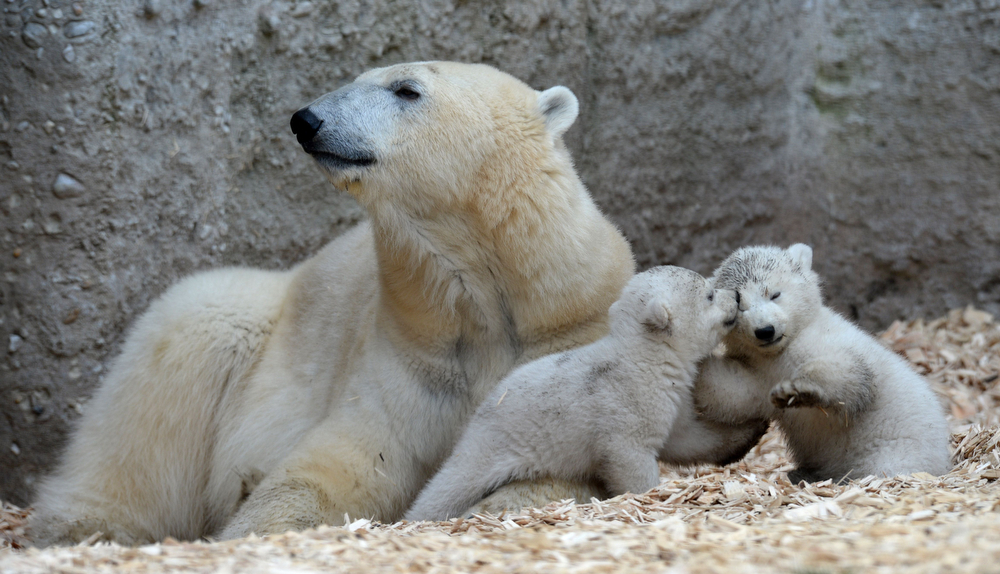 . The 14 week old polar bear twins play with their mother in their enclosure during the first outside excursion in the zoo in Munich Hellabrunn, southern Germany, on March 19, 2014. (CHRISTOF STACHE/AFP/Getty Images)