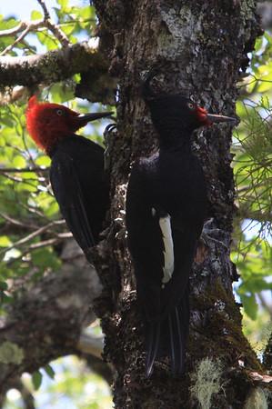 Carpintero (negro) /Magellanic Woodpecker