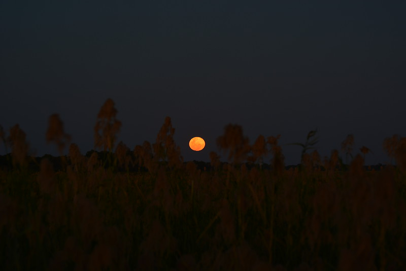 Moonrise Through the Reeds, Okavango River Near Shakawe, Botswana