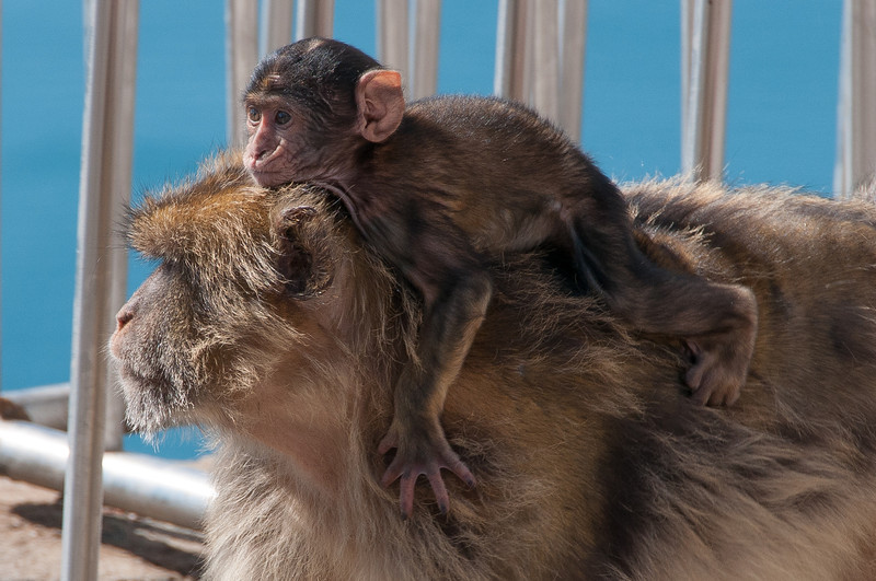 Baby ape riding on the back of his mother - Gibraltar