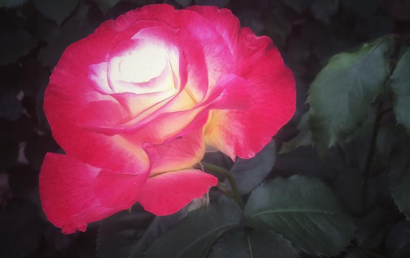 first rose.jpg