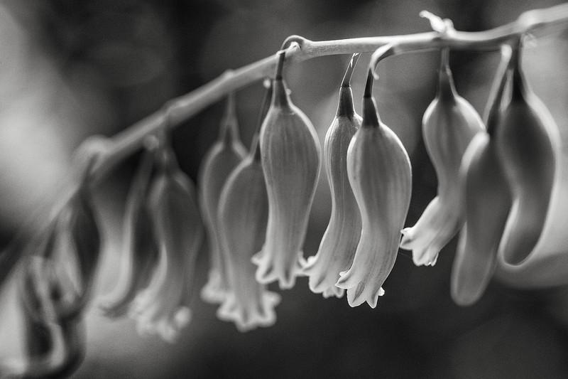 gasteria flowers