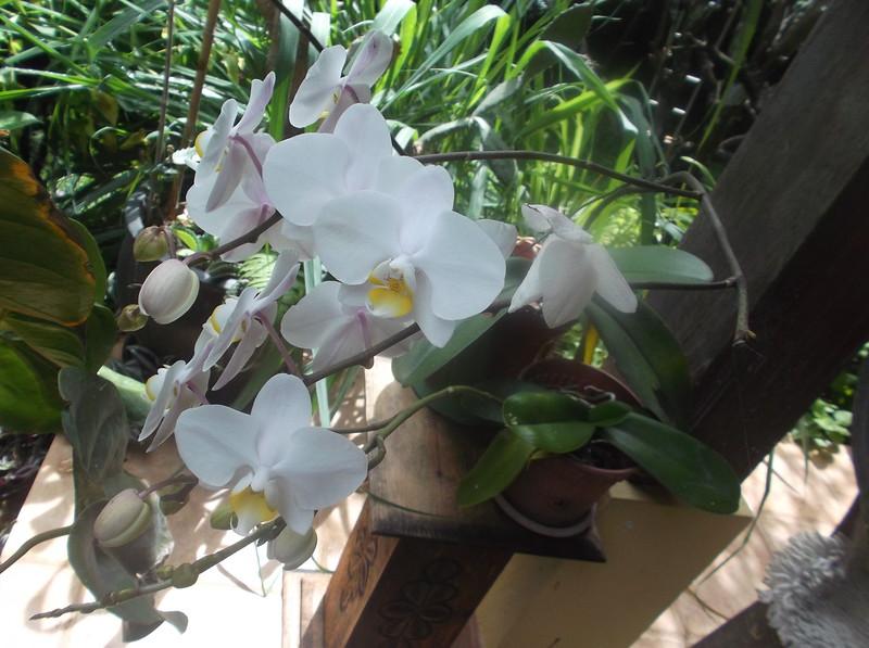 Flowers_OrchidWhite1.jpg