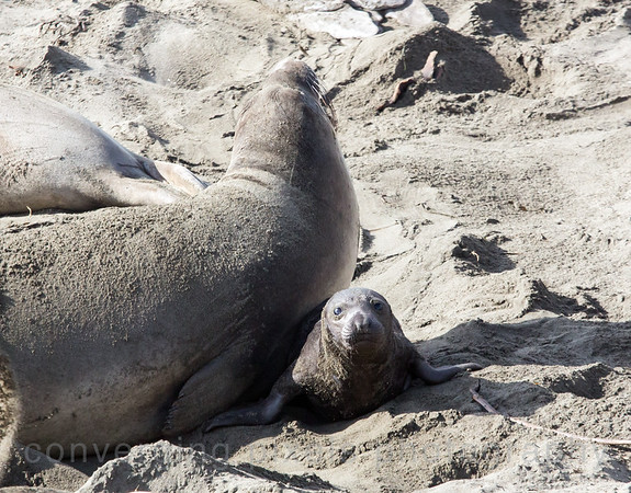 Elephant seals at Piedras Blancas Rookery; pup almost getting squashed by Mom.