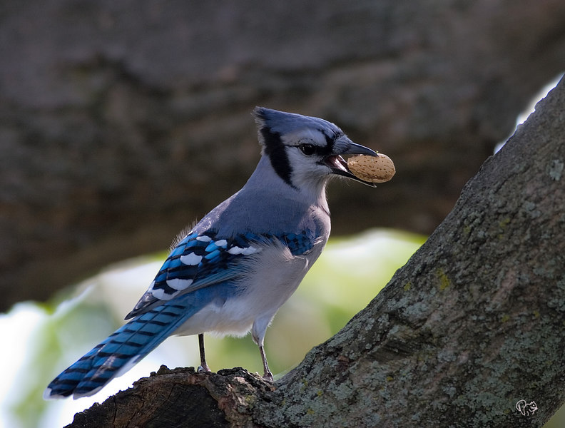 Just a Blue Jay, been muffing shots of them for the last two days, getting a complex:-) Now on to different birds