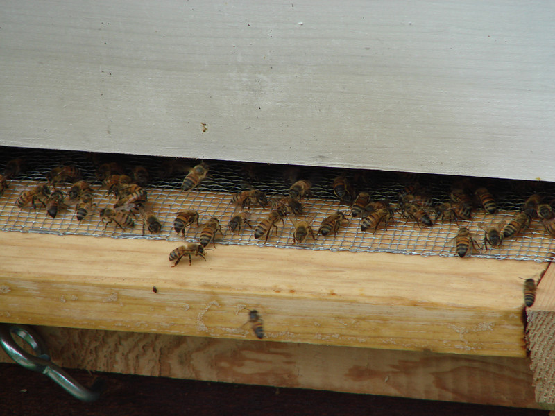 Activity at the entrance to my first hive (5/2/2009)